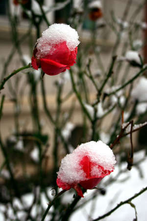 tristesse: Snow capped red roses