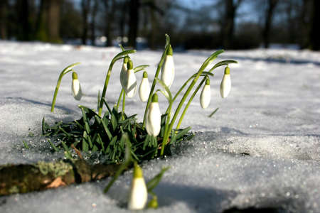 Snow drops at the end of winter photo