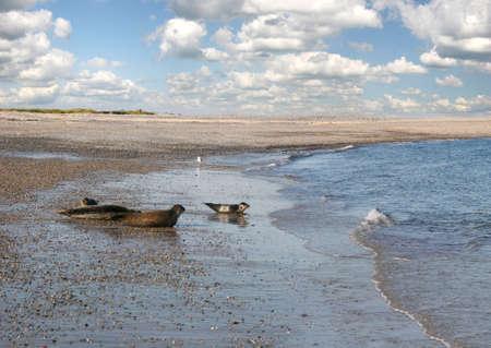 Seals at the beach of the german island Helgoland (Düne)  photo