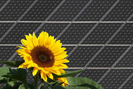 Sunflower with bees in front of solar panels