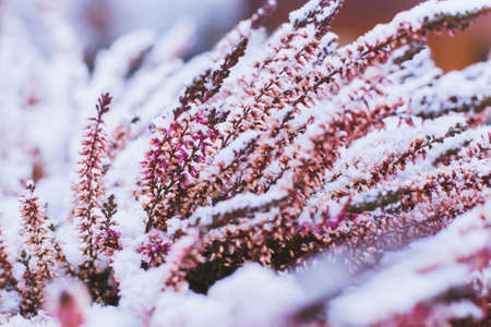 frozen winter: winter background with frozen flowers