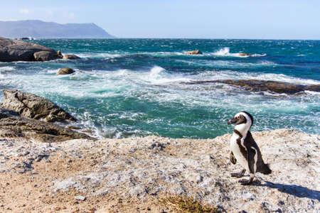 케이프 타운, 남아 프리 카 공화국에있는 바위 해변에 아프리카 펭귄 스톡 콘텐츠