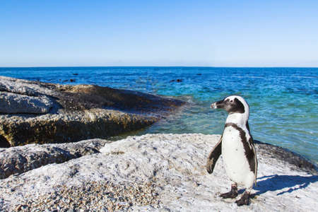 beautiful african penguin on Boulders beach in Cape Town, South Africa Banco de Imagens