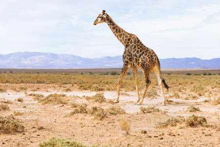 giraffe in landscape of South Africa, wildlife safari Stock fotó