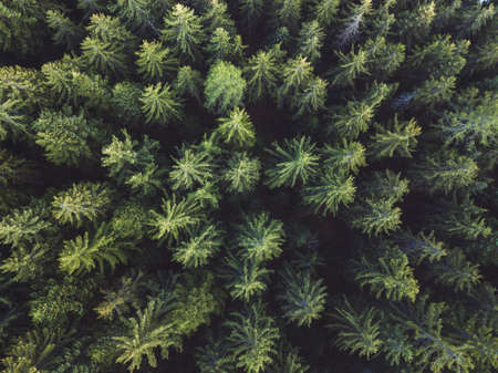 pine forest aerial shot, top view of green trees from drone, beautiful landscape
