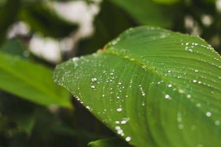 natural organic concept, drops of water on green leaf, nature close up background