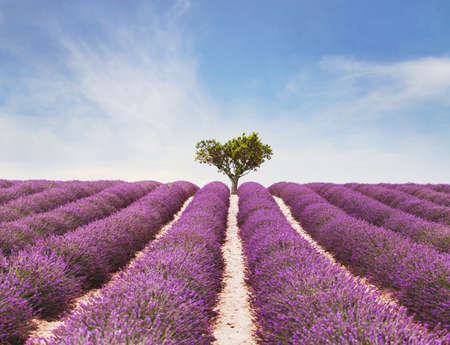 beautiful inspiring landscape, colorful beauty of nature, field of lavender flowers in bloom and lonely tree