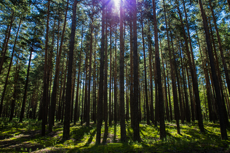 Summer pine trees forest in Burabai Nature National park, Kazakhstan Stock Photo