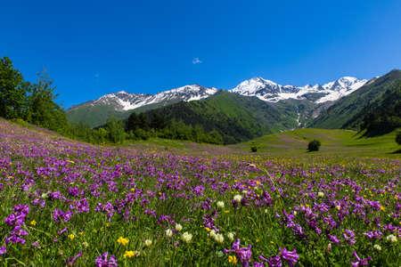 alpine fields with purple flowers in Swaneti, Georgia