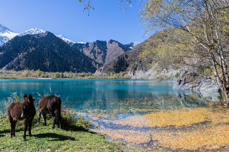 two donkeys staying near clear water in mountain Issyk lake in Kazakhstan
