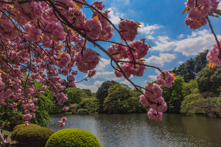 blooming pink sakura and lake on background in Shinjuku garden in Tokyo, Japan.