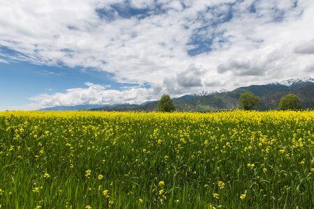 yellow flowers fields and cloudy sky near Karakol town, Kyrgyzstan