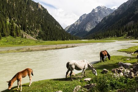 horses in altyn arashan valley in Kyrgyzstan with green fields and wide river Reklamní fotografie