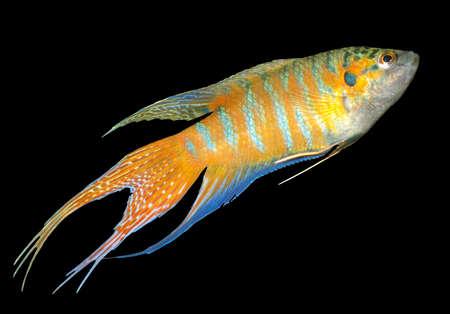 Paradise fish, or Macropodus Opercularis, freshwater labyrinth fish Stock Photo - 8683032