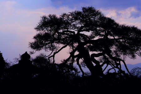 An old japanese black pine tree silhouette against evening clouds; the shot was made at the grounds of Kiomizu Dera in Kyoto, Japan photo