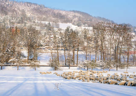 greasing: Winter walley. Flock of sheep greasing on a snowy field. Ammerbach walley in Jena, Thuringia, Germany