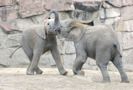 Baby elephants playing with each other. Zoo in Eastern Berlin, Germany photo