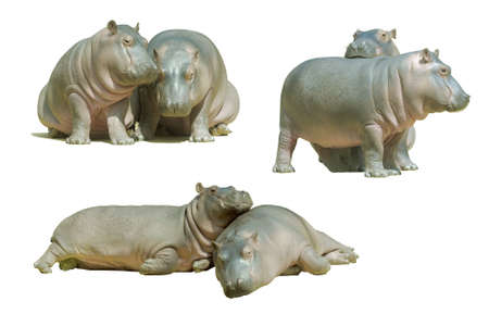 Two baby hippos, isolated on white photo