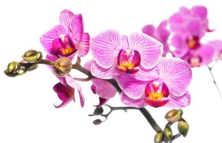 白い背景の上の胡蝶蘭 写真素材