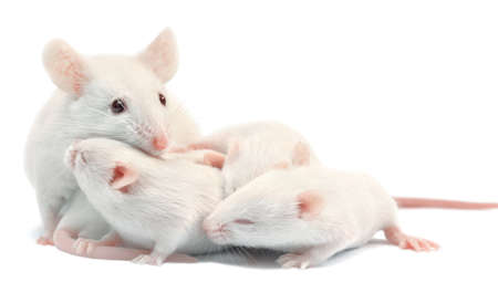 White laboratory mice: mother with pups, which are 9 days old; isolated on white Stock Photo - 9171878