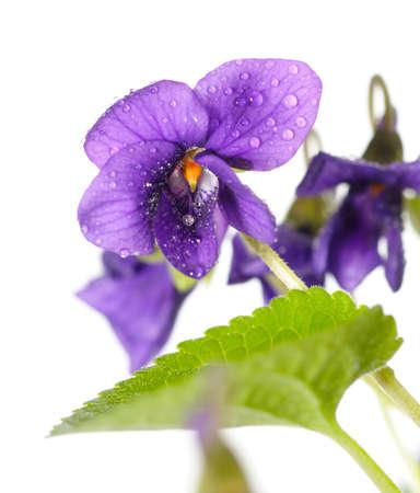 violeta: detalle de Viola odorata (Sweet violeta, violeta inglés, violeta común o jardín violeta), aislado en blanco Foto de archivo