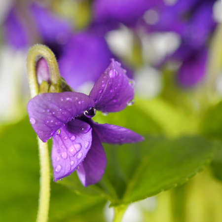 closeup on Viola odorata (Sweet Violet, English Violet, Common Violet, or Garden Violet) photo
