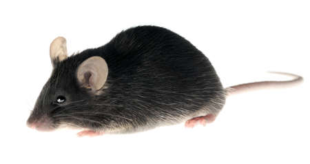 mus: Black laboratory mouse, adult female, isolated on white