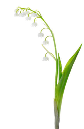 lily of the valley: Lily of the Valley (Convallaria Majalis) isolated on white