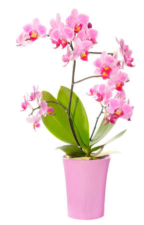 Phalaenopsis orchid in full bloom on white background photo