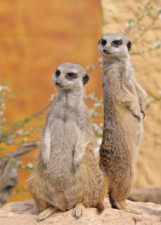 meerkat: Two standing alert  mercats (Surikata)  Stock Photo