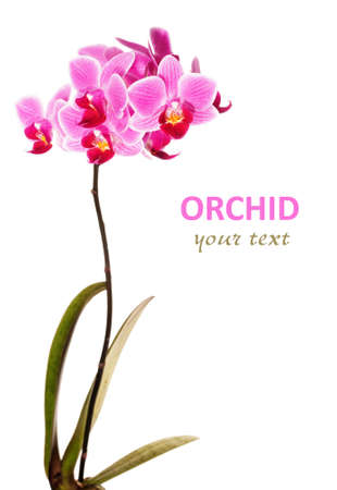 Phalaenopsis orchid in full bloom on white background Stock Photo