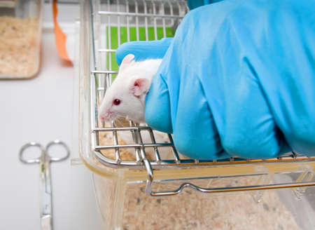 Animal caretaker takes white laboratory mouse from top of the cage