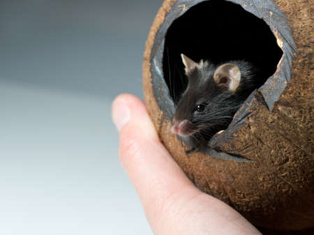 mouse hole: Curious black mouse looks out of cocos nut shelter; copyspace