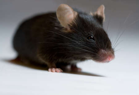 transgenic: Black mouse, adult female
