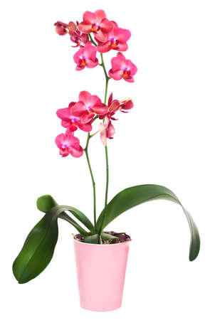 Dark red phalinopsis orchid in pink flower pot photo