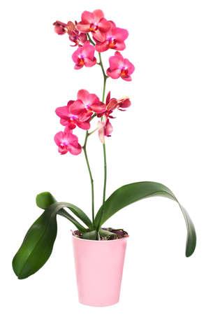 Dark red phalinopsis orchidei w puli różowy kwiat Zdjęcie Seryjne