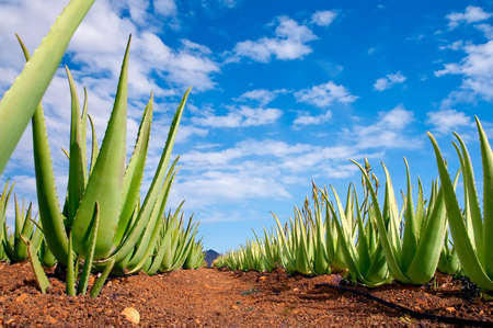 canary: Aloe vera field; Furteventura, Canary Islands, Spain Stock Photo