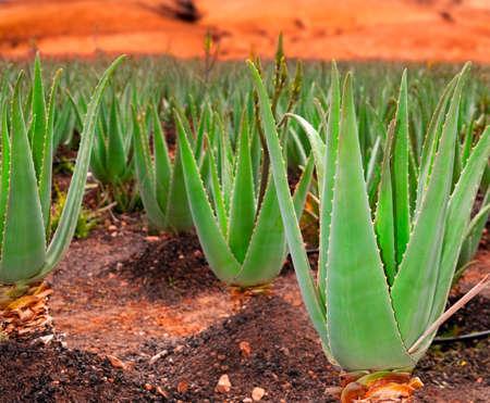 Aloe vera boisko; Furteventura, Wyspy Kanaryjskie, Hiszpania