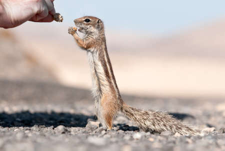barbery: chipmunk is getting bred Stock Photo