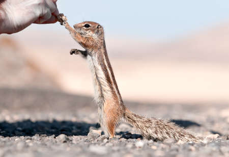 barbery: Chipmunk, Fuierteventura, Spain Stock Photo