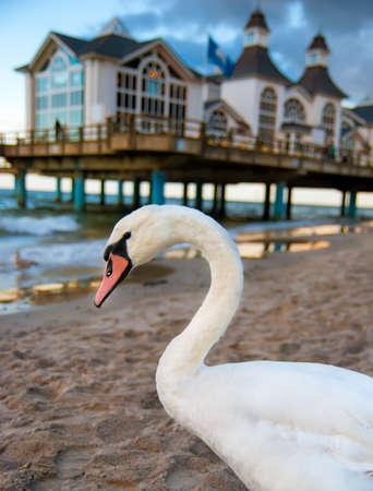 big island: Wild swan by Seabridge Restaurant in Sellin, Ruegen island, Germany