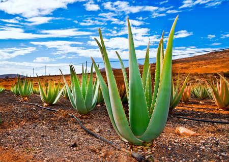 Aloe vera field; Furteventura, Canary Islands, Spain Stock Photo