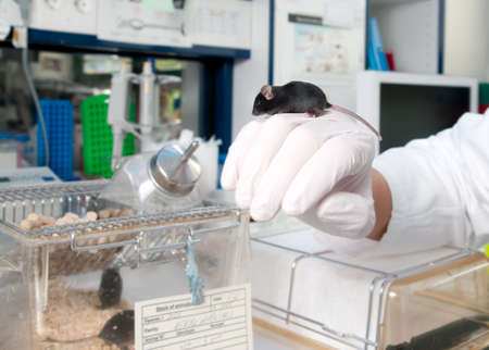 laboratory animal: Work with transgenic mouse in modern laboratory
