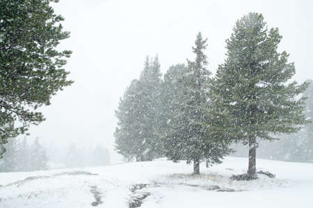 evergreen forest: Heavy snowfall in evergreen forest, Austrian Alps in Oberthauern