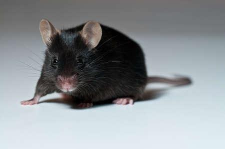 Black mouse on grey background photo