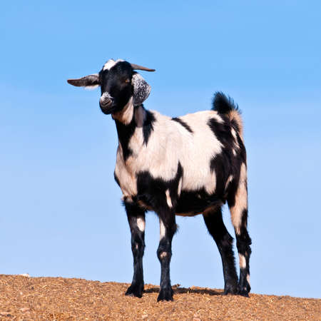 Domestic goat on blue sky background, Fuerteventura, Canary islands, Spain Stock Photo - 14966318