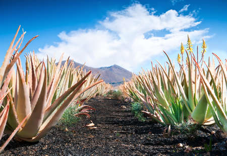 plantas del desierto: Aloe vera campo; Furteventura, Islas Canarias, España