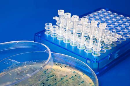 clonacion: Plato de Petri con colonias en agar, bactecial miniprep titulares en tira de plástico