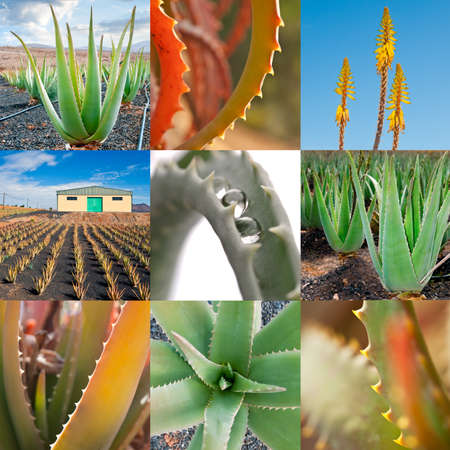 aloe: Aloe vera producton for cosmetics industry, collage