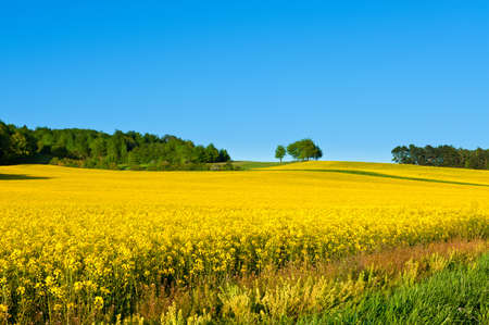 canola plant: Rapeseed field with forest far away Stock Photo